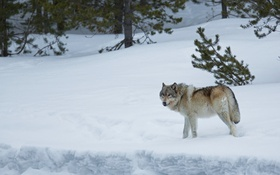 Обои зима, лес, снег, волк, хищник