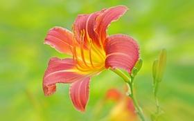 Обои макро, природа, лилия, лепестки