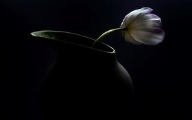 Обои тюльпан, макро, фон, цветок