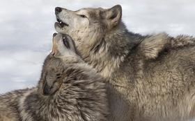 Обои природа, фон, волки