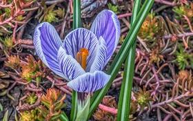 Обои макро, природа, весна, лепестки, крокус
