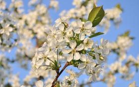 Обои небо, свет, вишня, ветка, весна
