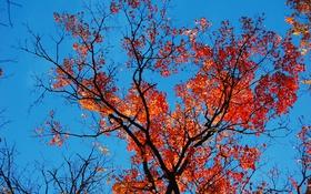 Картинка осень, небо, листья, ветки, багрянец