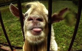 Обои морда, забор, козёл
