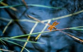 Обои стрекоза, крылья, природа