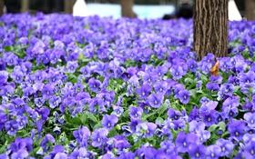 Обои фиолетовый, поляна, анютины глазки, виола