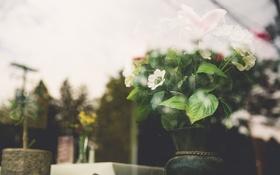 Обои листья, цветы, белые лепестки