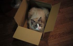 Обои кошка, глаза, взгляд, коробка