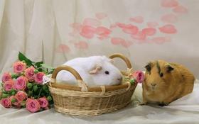 Обои корзина, розы, пара, морские свинки