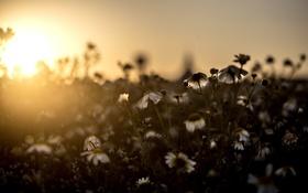 Обои свет, цветы, ромашки