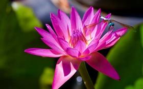 Обои макро, стрекоза, нимфея, водяная лилия