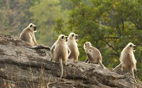 Обои Индия, примат, Национальный парк Бандхавгарх, Мадхья-Прадеш, гульманы