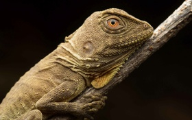 Картинка Австралийский лесной дракон, Hypsilurus boydii, природа, макро