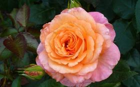 Обои макро, розовый, роза, лепестки