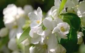 Обои белый, макро, весна, яблоня