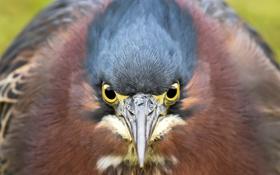 Картинка макро, птица, Green Heron