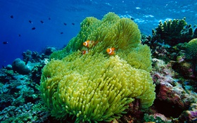 Обои море, океан, кораллы, рыба-клоун, актиния