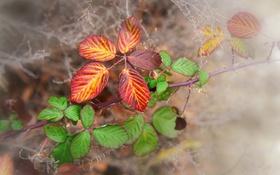 Обои осень, листья, макро, природа, веточки