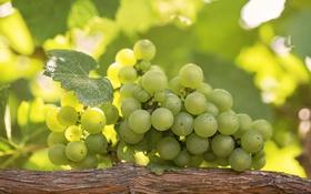 Обои зеленый, виноград, гроздь, лоза