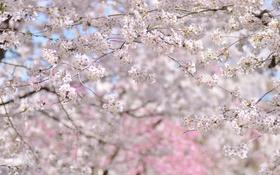 Обои деревья, вишня, весна, сакура, цветение