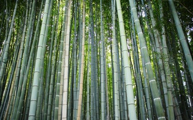 Обои лес, бамбук, ствол