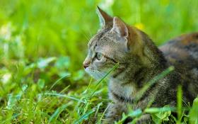 Обои кошка, усы, лето, трава, глаза, кот