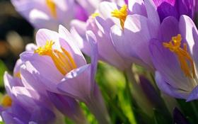 Обои макро, свет, сиреневый, весна, крокусы