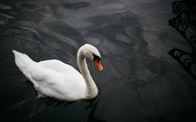 Обои белый, вода, птица, лебедь