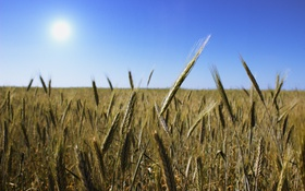 Картинка поле, солнце, колос