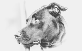 Обои взгляд, морда, собака, Лабрадор