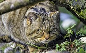 Обои хищник, охота, дикий кот