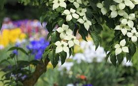 Обои дерево, весна, кизил