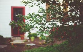 Обои ветки, ягоды, куст, дверь, красные