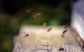 Обои природа, улей, пчёлы