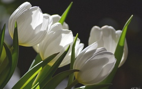 Обои белый, тюльпаны, бутоны