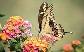 Картинка бабочка, крылья, махаон