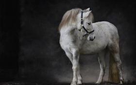 Картинка фон, пони, лошадка, Шетландский пони