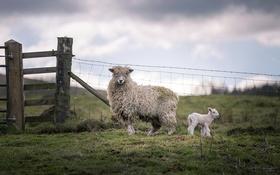 Обои овцы, забор, природа