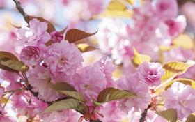 Обои розовый, красота, весна, сакура, цветение