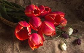 Обои красный, тюльпаны, рябчик