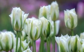 Обои белый, макро, тюльпаны, бутоны