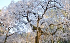 Обои вишня, дерево, весна, сакура