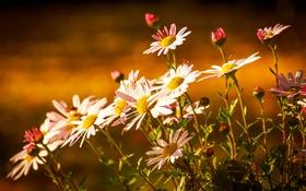 Обои свет, хризантемы, бутончики