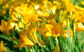 Картинка желтый, лилии, лепестки