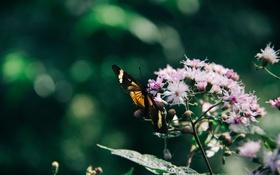 Обои цветы, бабочка, крылья, насекомое