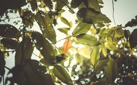Картинка листья, солнце, ветки