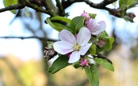 Обои макро, ветка, весна, яблоня
