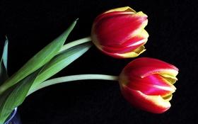 Обои макро, тюльпаны, бутоны