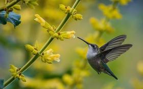 Обои полет, птица, крылья, колибри, кроха