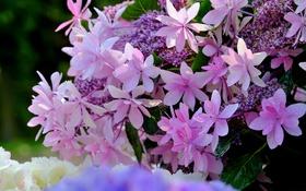 Обои макро, цветки, гортензия